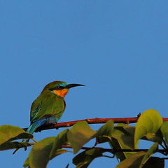 11_08-47-12 70Draw-0213af2 Swallow-tailed Bee-eater