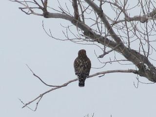 Photo: Hawk © Janice Farral