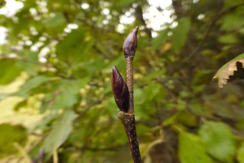 buds (2), Alnus viridis