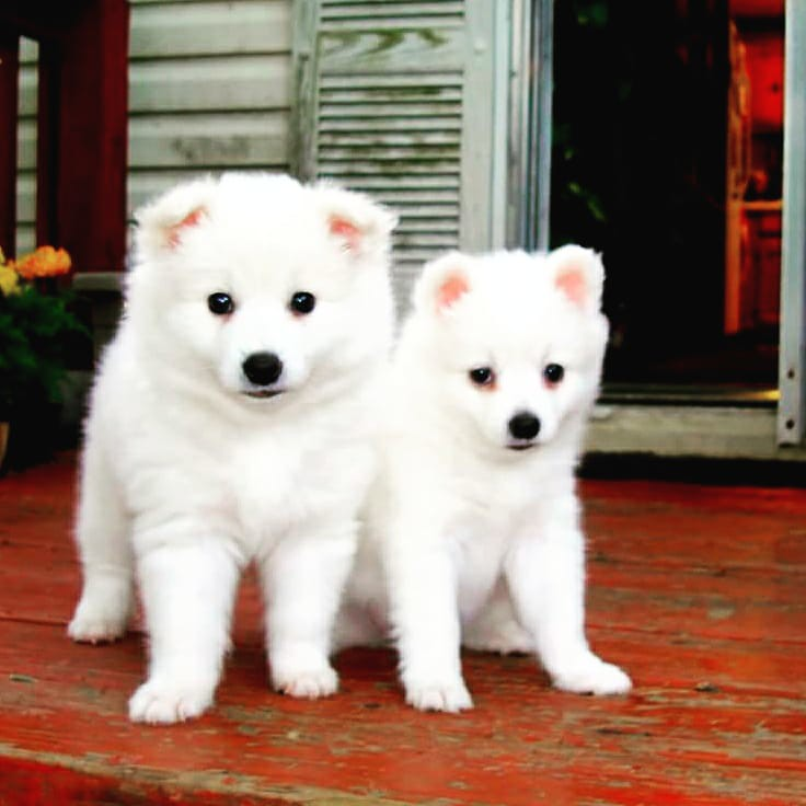 A42 Toy American Eskimo Puppies Pansy Bilal Flickr