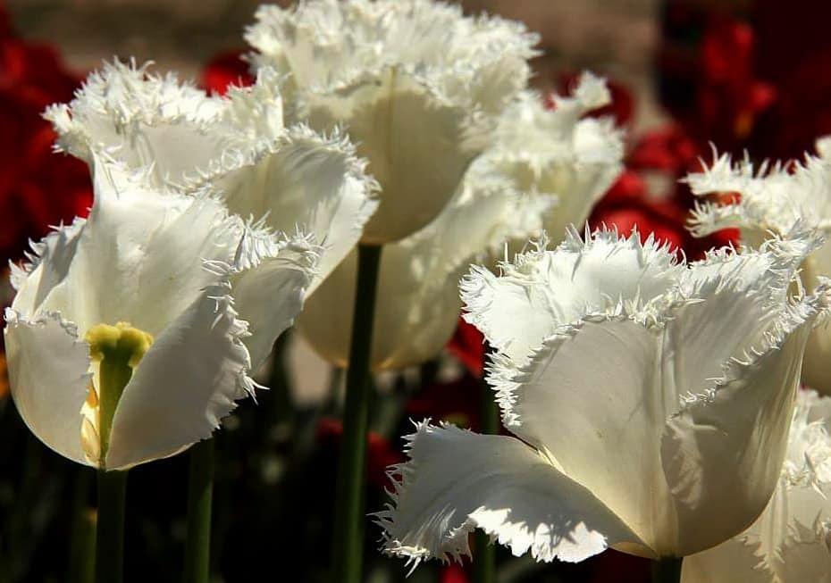 Beautiful and rare srinagar tulips blooming in april