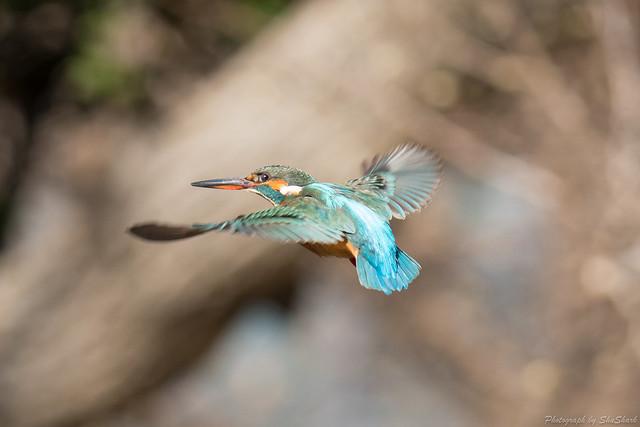 20180127-kingfisher-DSC_5999