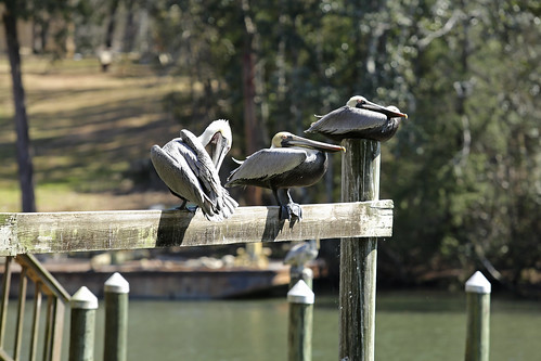 Grey Pelicans resting in Alabama