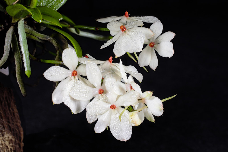 Miniatur-Orchideen Teil 4 - Seite 5 26327987678_a7799de719_c