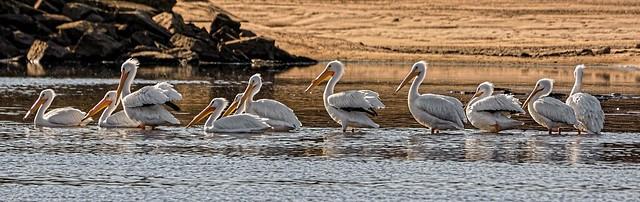 Panorama of Pelicans