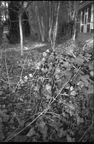 ivy thicket trees trunks conifer architecture westasheville northcarolina olympusxa ilfordfp4 moerschecofilmdeveloper rangefinder 35mm film blackandwhite monochrome monochromatic landscape