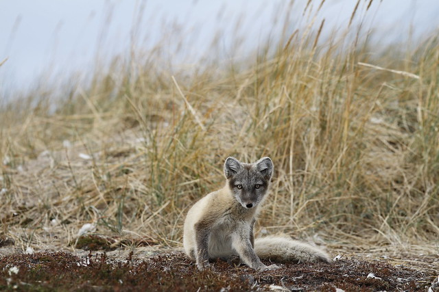 Young Arctic fox, Vulpes Lagopus, in fall colours being caught in the act of scratching