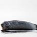 Harbor Seal ( Phoca vitulina ). by Kristian Ohlsson