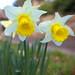 Village Daffodils Surrey