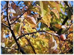 Beautiful autumn leaves of Diospyros kaki (Asian Persimmon, Japanese Persimmon, Oriental Persimmon, Buah Pisang Kaki in Malay), March 1 2018