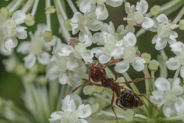 Solenopsis invicta 2018.01.06