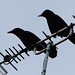Aerial balance (carrion crows)