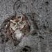 Chroniques d'Angrignon | Shannon, le Rouquin, au trou no 6 | Petit-duc maculé mâle de forme rousse | Parc Angrignon | Arrondissement Sud-Ouest | Montréal
