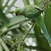 Ring-necked Parakeet ----Psittacula krameri