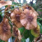 Pterocarpus indicus seedpods