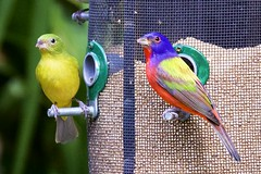 Pair of Painted Bunting