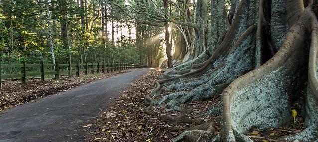 Fig Trees, Norfolk Island, Pentax K-5, smc PENTAX-DA 18-250mm F3.5-6.3 ED AL [IF]