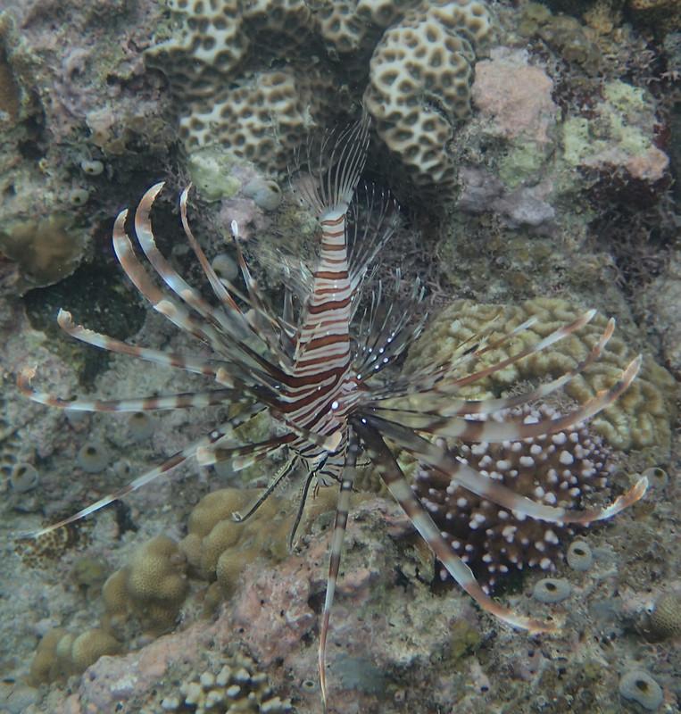 Red Lionfish (Красная зебра-крылатка)-2
