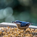 Nuthatch... who knew they had such a long tongue??