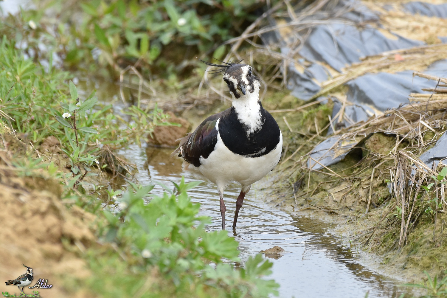 Northern_Lapwing_7517