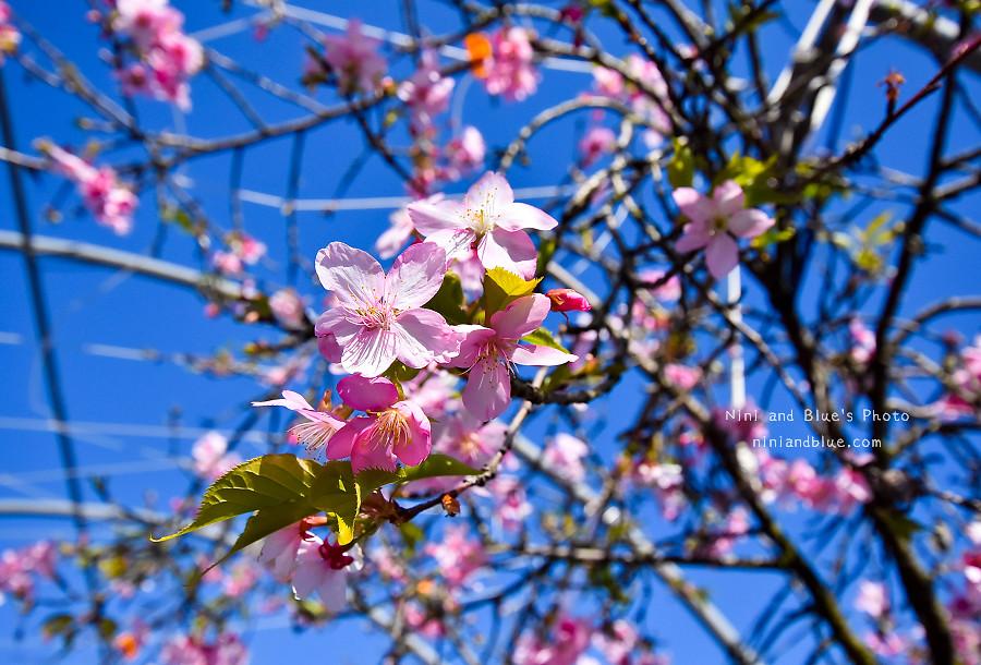 芬園花卉休憩園區-櫻花園區201803