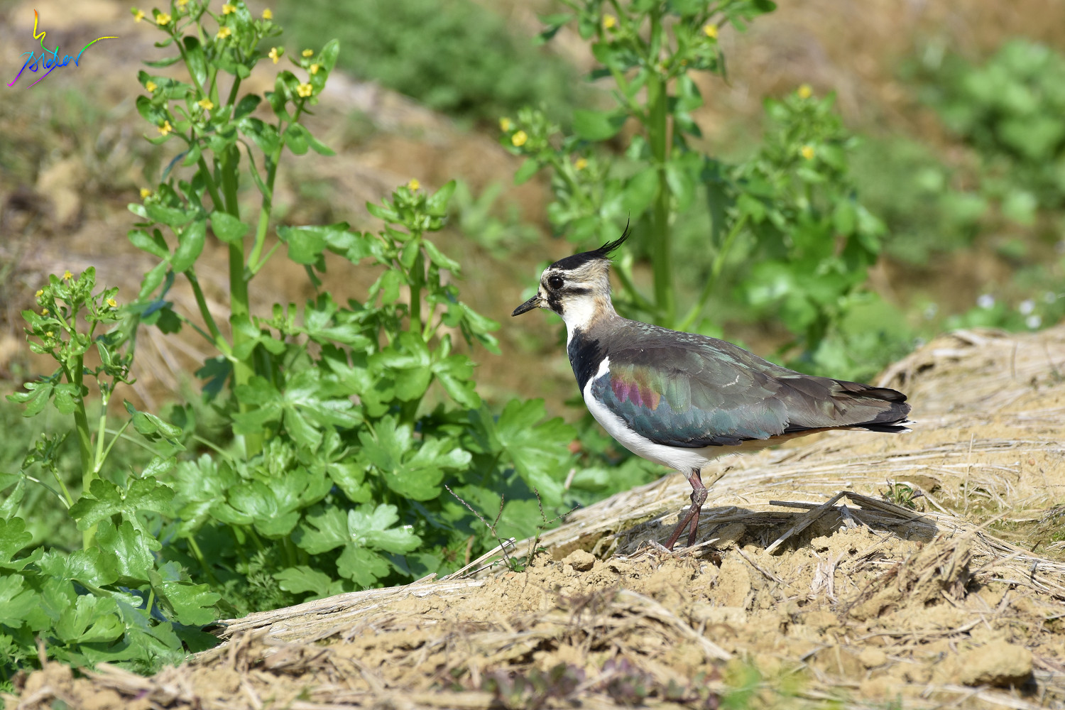 Northern_Lapwing_7884