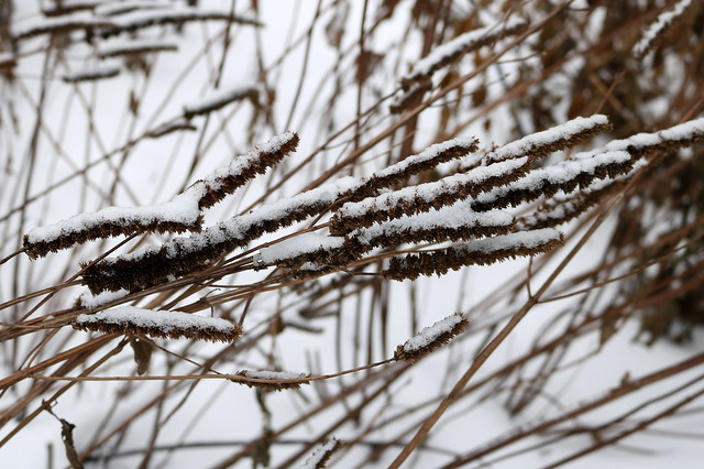 stems bending to the right to nearly horizontal, the dark brown flowers frosted with snow