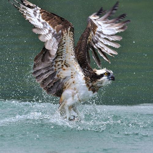 Osprey, 魚鷹
