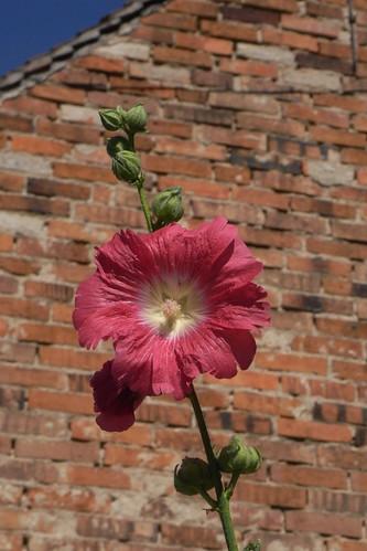 20100822 126 0102 Jakobus Stockrose rosa Blume_K