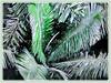 Oenocarpus bataua (Bataua Palm, Seje Palm, Pataua Palm, Ungurahui)