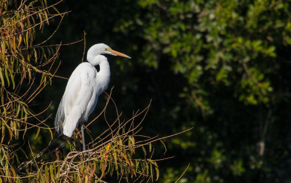 White Heron_2