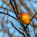 Apple still on tree, Quidi Vidi Lake