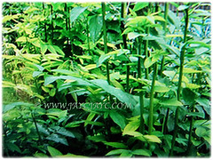 Sauropus androgynusSauropus androgynus (Star Gooseberry, Sweet Leaf Bush, Sabah Vegetable, Katuk, Sayur Manis in Malay) can grow between 2-3 m tall, March 7 2018 can grow between 2-3 m tall