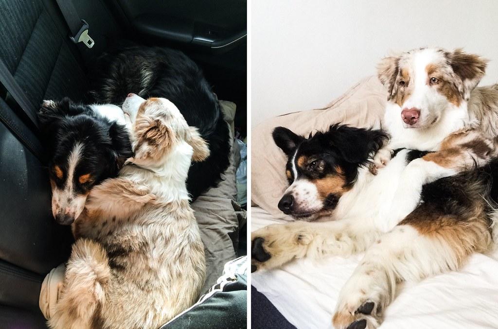 elämä kahden koiran kanssa-36-tile