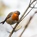 Inquisitive Robin