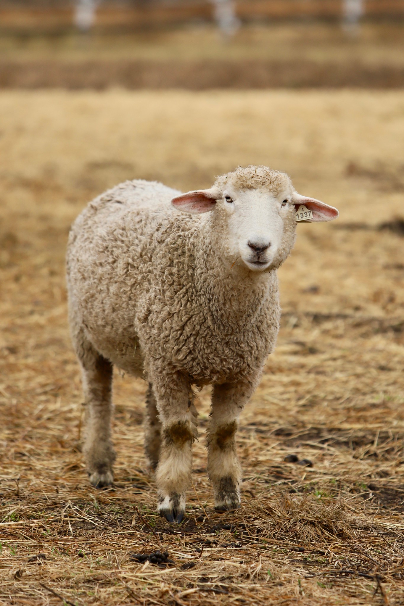 Sawkill Farm Sheep