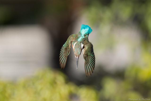 20180127-kingfisher-DSC_5875