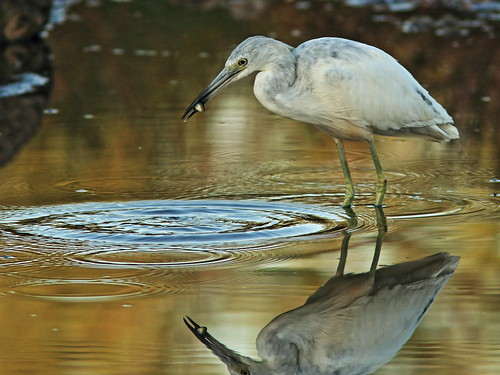 Little Blue Heron immature 04-20180306