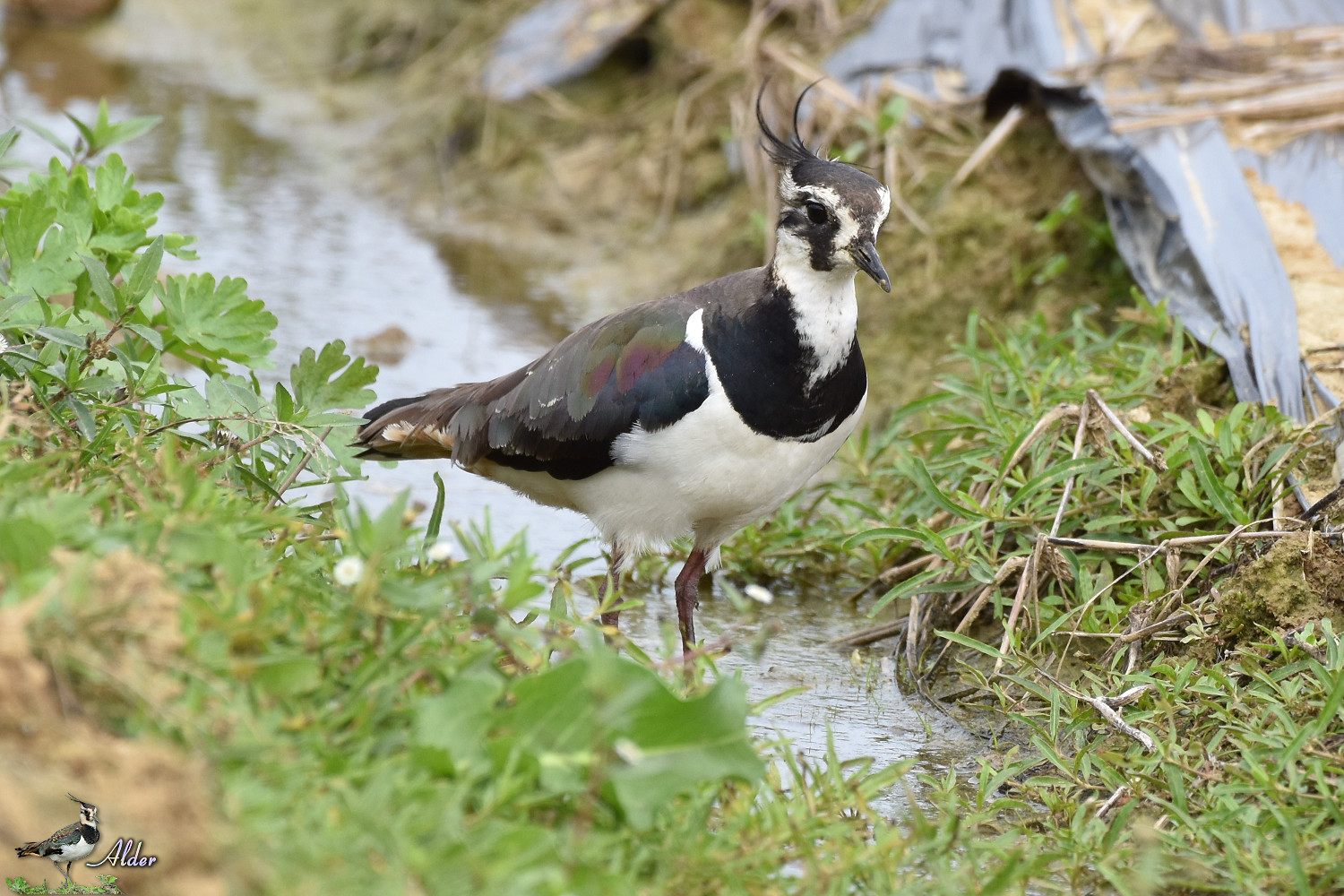 Northern_Lapwing_7550