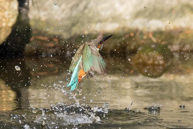 20180121-kingfisher-DSC_5078