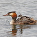 GREBE AND CHICK #12.JPG