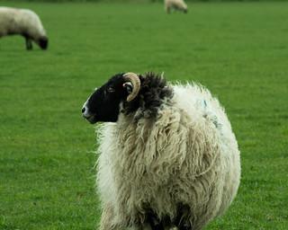 20170330-63_Yorkshire Moors Sheep near Levisham
