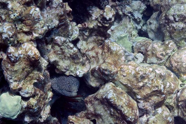 whitemouth moray eel: Gymnothorax meleagris