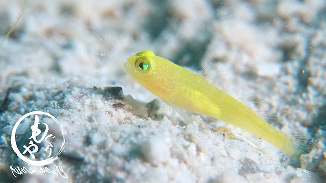 フタホシタカノハハゼの幼魚 黄バージョン♪ どちらも小指の爪先サイズw