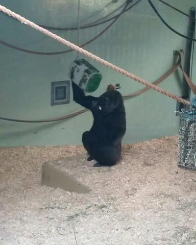 Gorilla (2) #toronto #torontozoo #mammal #gorilla #primate #latergram