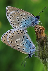 HolderLarge Blues mating - Daneway WT reserve Gloucs - 270616 (25)