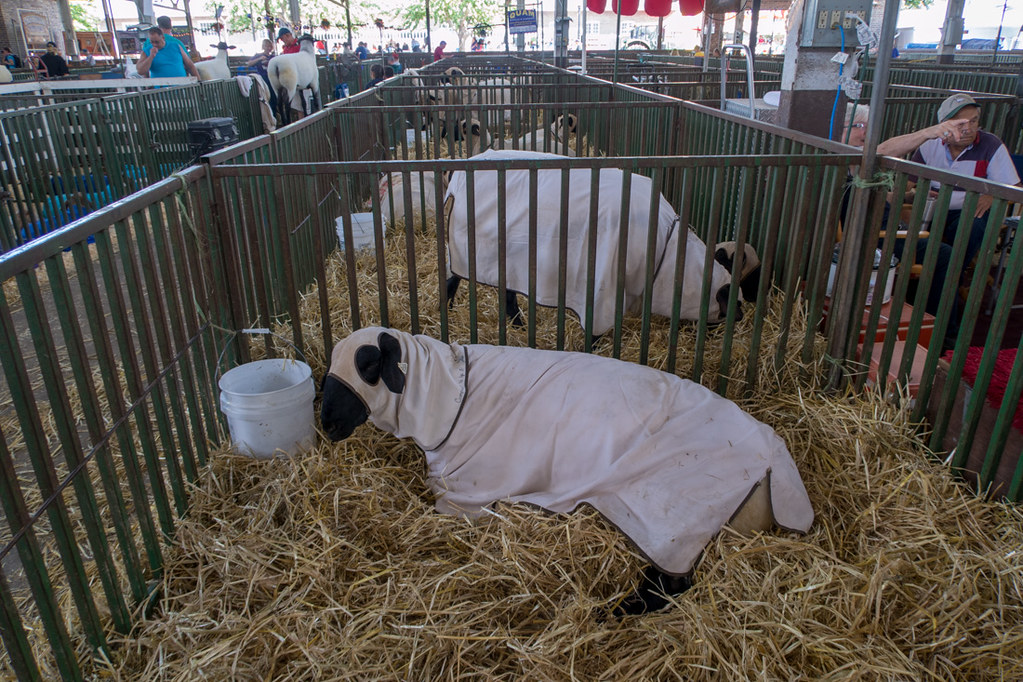 Sheep wearing jackets at Iowa State Fair