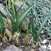 Eulophia petersii (Rchb.f.) Rchb.f. - Kew Gardens
