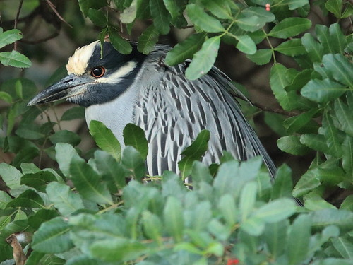 Yellow-crowned Night-Heron 02-20180108