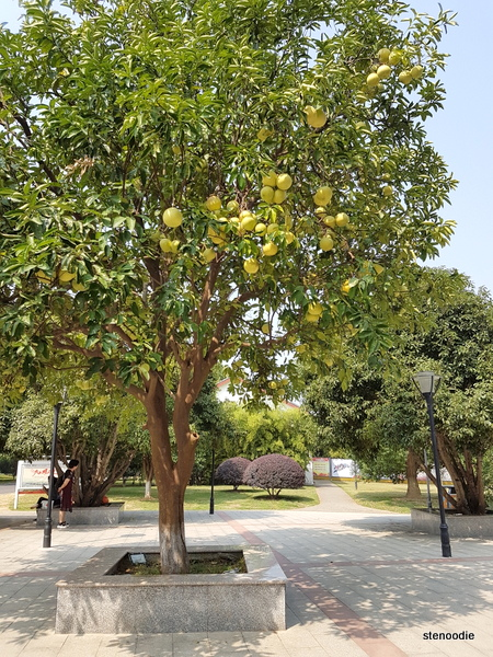 Pomelo tree